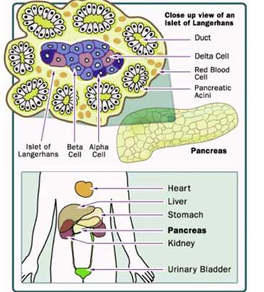 Diabetes India - Diabetes The pancreas is of two main parts ...